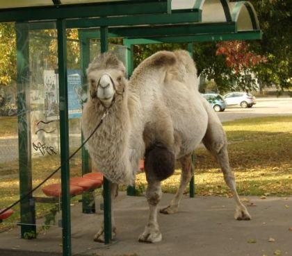 Sonntag - Mitten in Hohenschönhausen - Ein Kamel