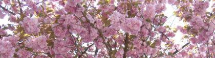 Rosa Baumblüten